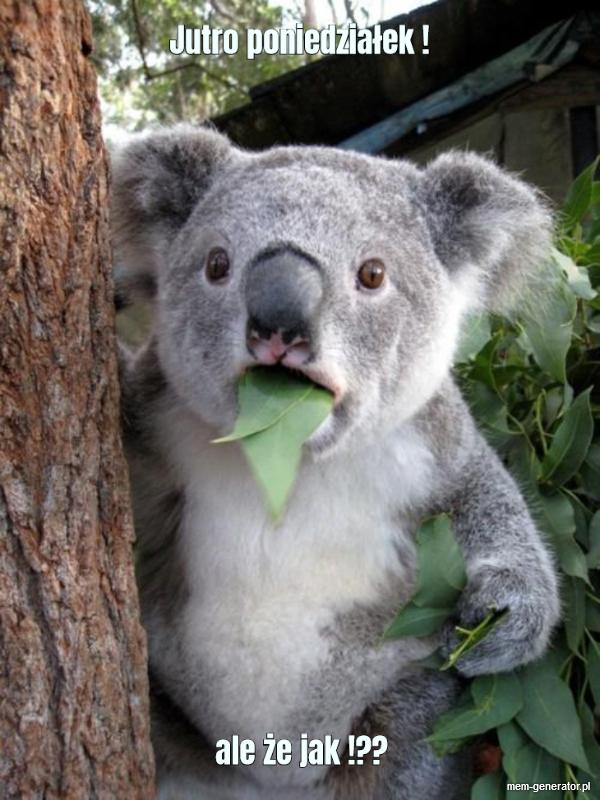 Koala jutro poniedziałek